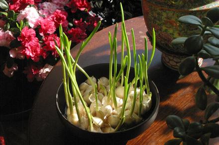 Pretending to be Garlic, Not